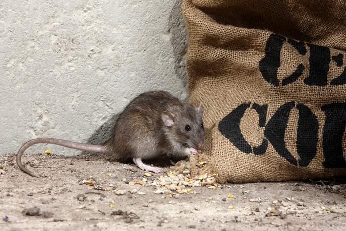 Trampas para exterminar plagas de ratas