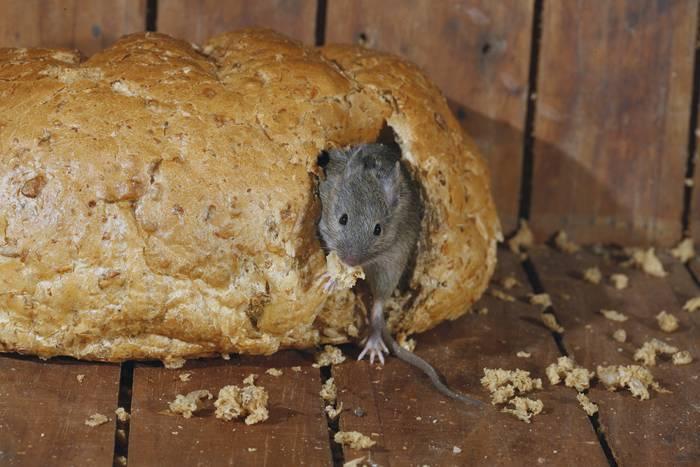 Veneno para eliminar plagas de ratones en casa