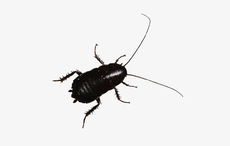 eliminar cucaracha oriental